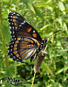 Rubidus Hybrid (Viceroy and Red-spotted Purple) - Limenitis - male