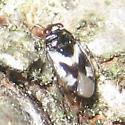 Corticoris signatus