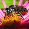 Leafcutter Bee mendica ? - Megachile mendica - female