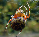 Spider, large round, smallm brown and yellow - Araneus marmoreus