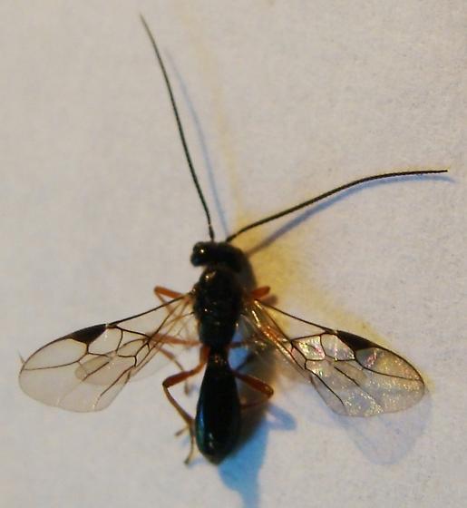 Braconid wasp - Alysia