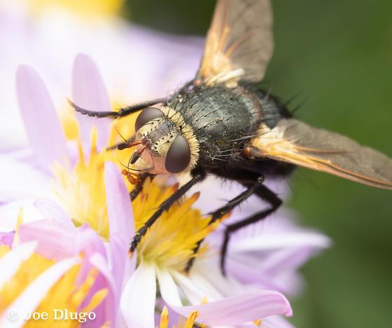 Chunky Fly on Aster - Tachina