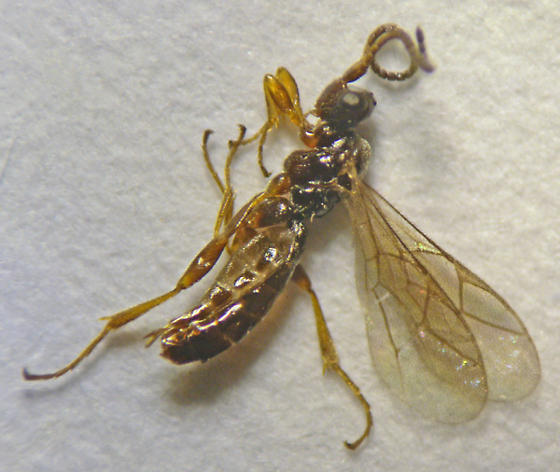 Hymenoptera - Braconidae ?