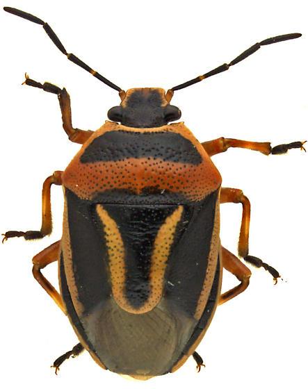 Stink Bug - Perillus exaptus