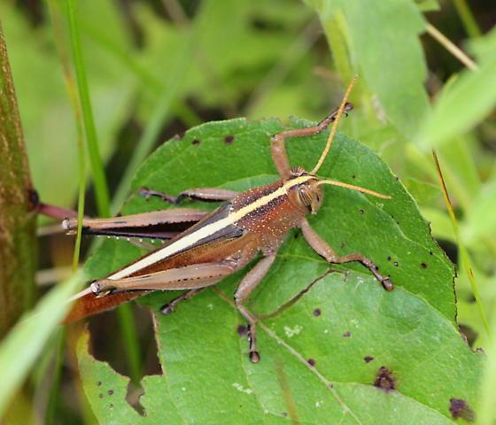 Spotted Bird Grasshopper - Schistocerca lineata - male