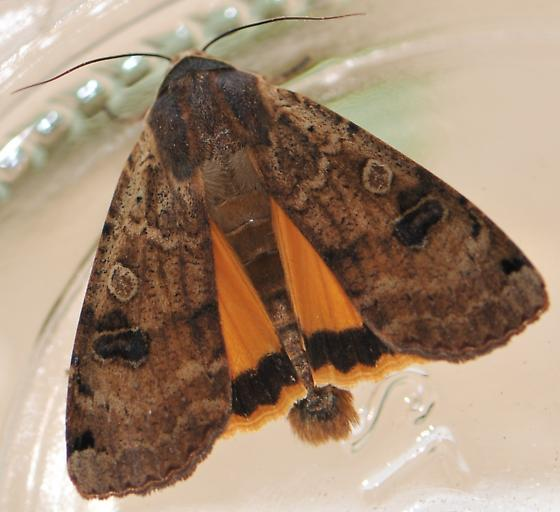 Large Yellow Underwing - Noctua pronuba