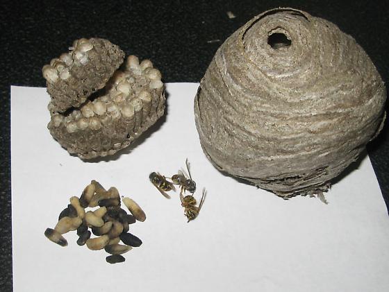 Mysterious Death - Dolichovespula arenaria - female