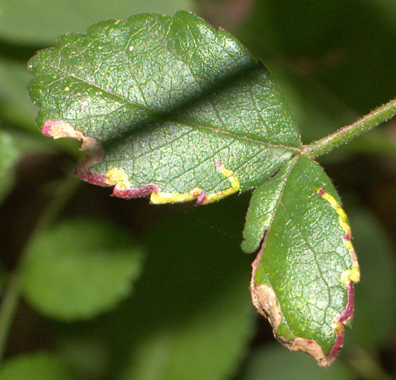Wild Rose Leaf Miner ID Request - Agromyza