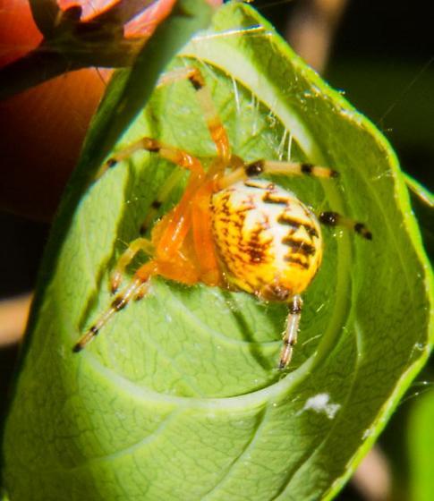 Spider ?Marbled Orb Weaver - Araneus