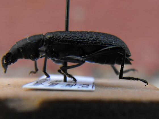 Darkling Beetle - Upis ceramboides