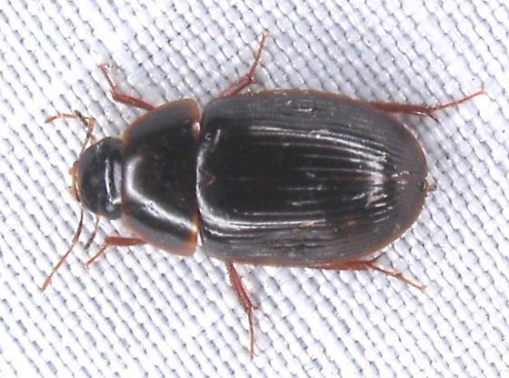 striated black water beetle - Helocombus bifidus