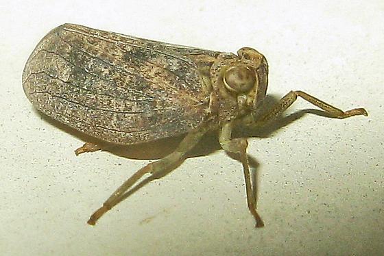Planthopper - Thionia bullata