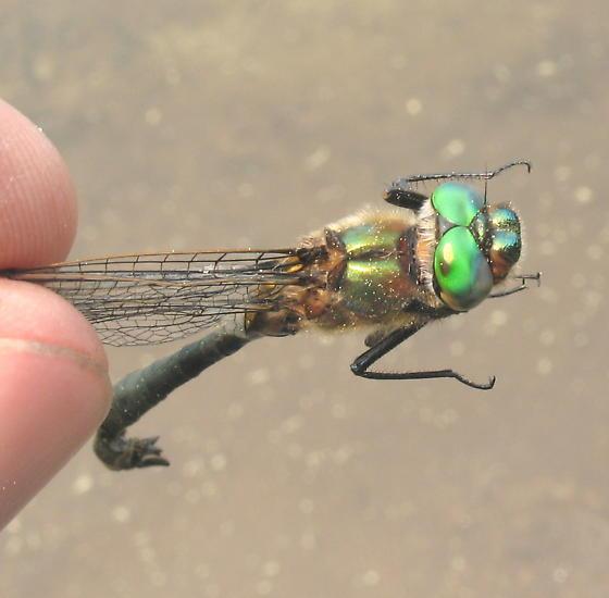 Emerald - Cordulia shurtleffii - male