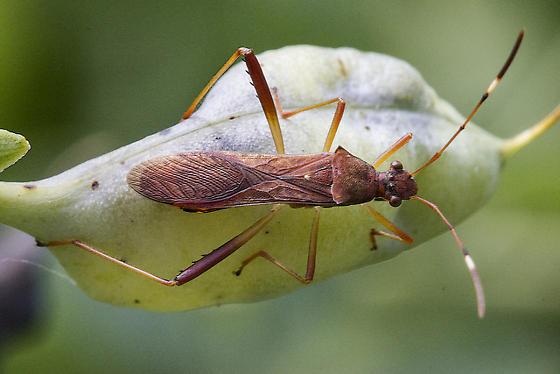 Hemipteran - Megalotomus quinquespinosus