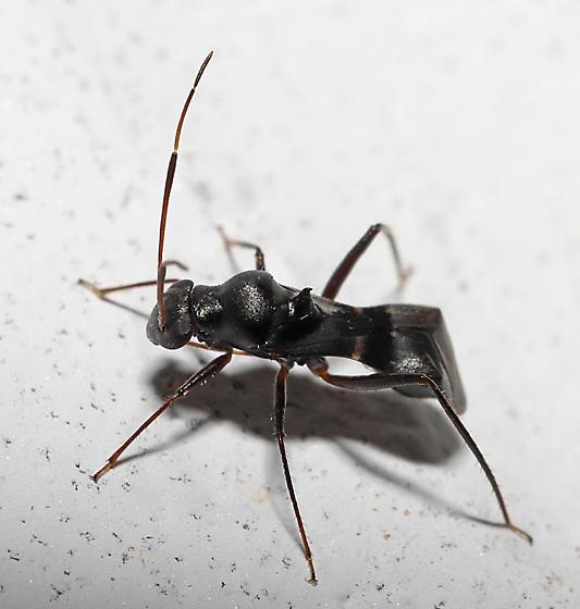 Mirid - Barberiella formicoides