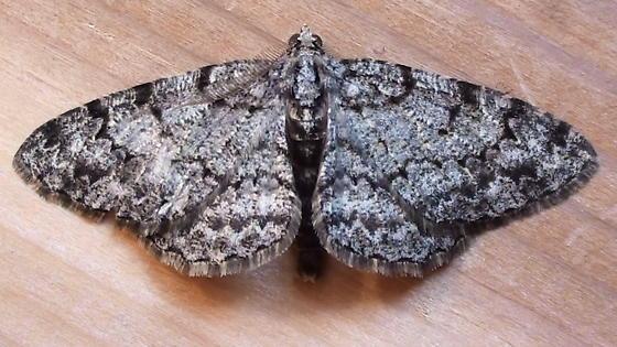 Geometridae: Ectropis crepusularia? - Protoboarmia porcelaria - male