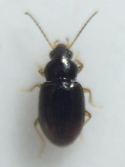 Beetle - Elaphropus xanthopus