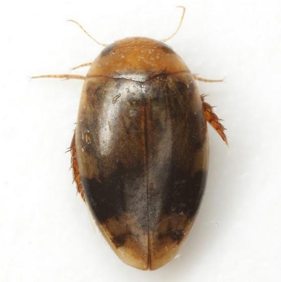 Laccophilus fasciatus Aube - Laccophilus fasciatus