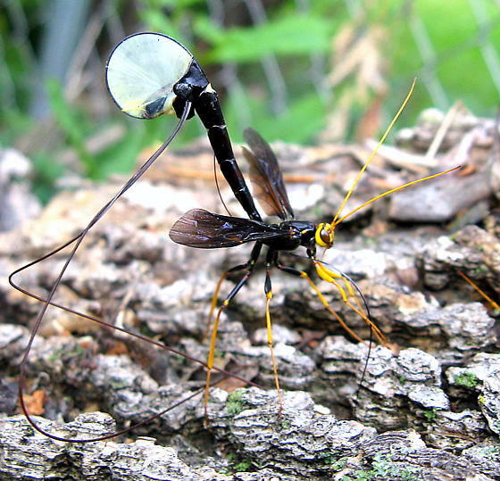 Not Your Everyday, Ordinary, Black and Yellow Insect - Megarhyssa atrata
