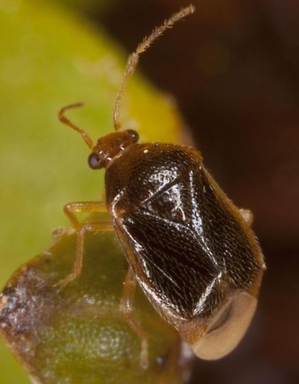 Plant Bug IMG_4953 - Monalocoris americanus