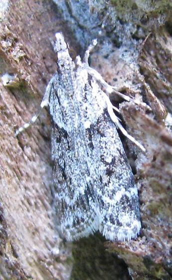 Unknown moth - Scoparia biplagialis
