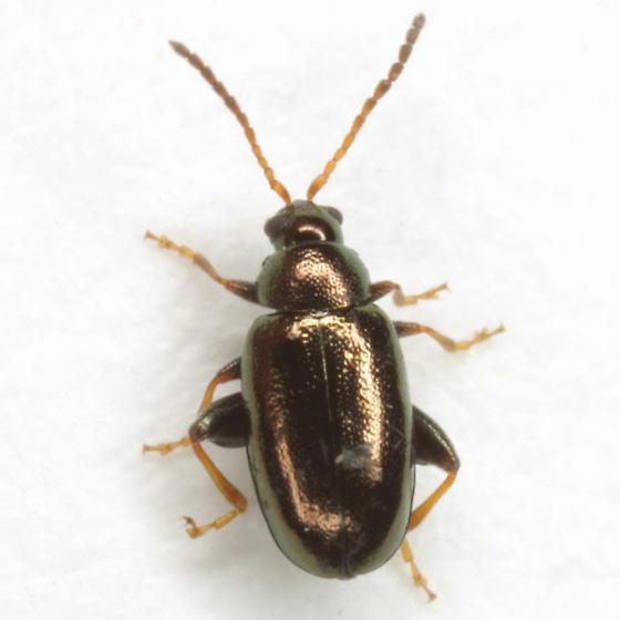 Phyllotreta aeneicollis (Crotch) - Phyllotreta aeneicollis