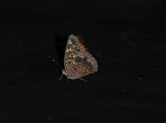 Is it an owl Butterfly? - Asterocampa celtis - female