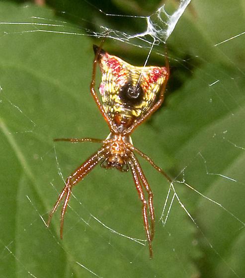 Arrow-shaped Micrathena - Micrathena sagittata - female