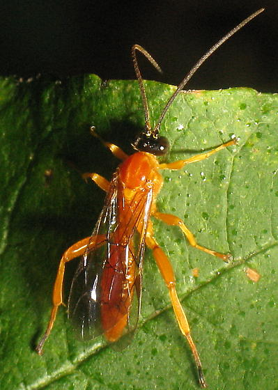Theronia hilaris (Say) - Theronia hilaris - male