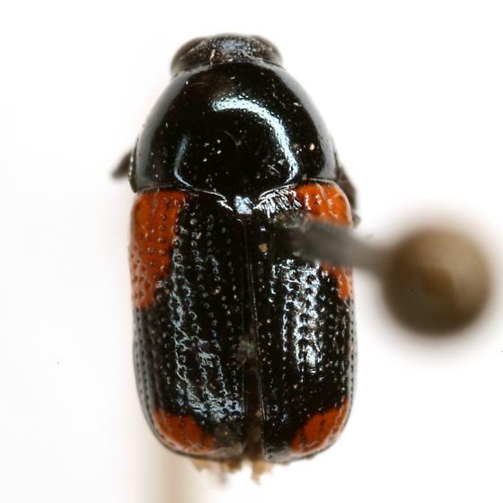 Cryptocephalus pinicolus Schaeffer - Cryptocephalus pinicolus
