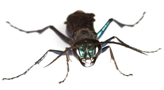 Steel-blue Cricket Hunter? - Chlorion aerarium - male