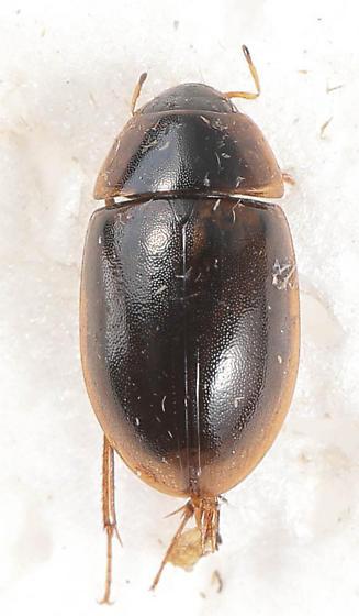 Enochrus hamiltoni
