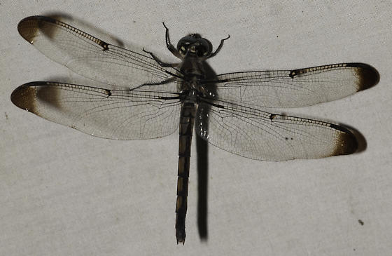 stranger at the lights - Libellula vibrans - female