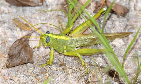 Green Bird Grasshopper - Schistocerca lineata - male