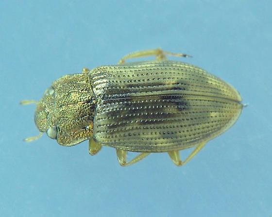 Metallic-hued Helophorus - Helophorus