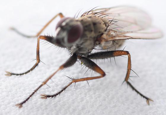 tiger fly - Coenosia tigrina - male