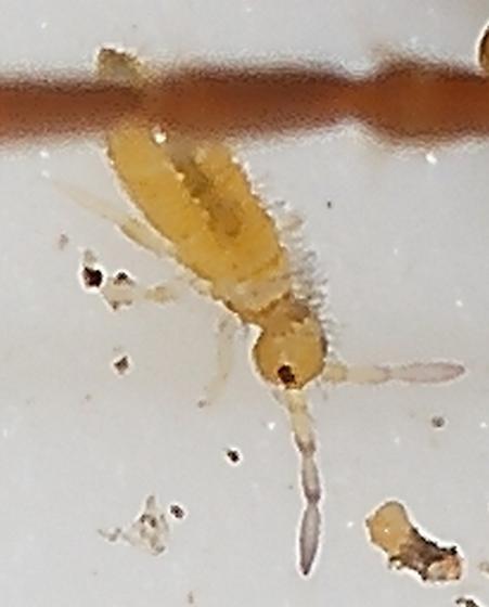 Springtail - Entomobrya