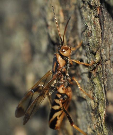 wasp on maple tree - Ibalia anceps