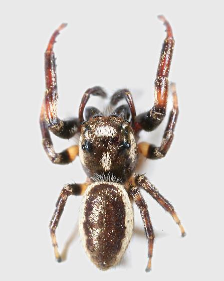 Spider BG559 - Eris flava - male