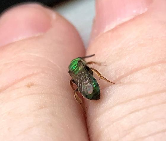 Pure Green Sweat Bee? - Augochlora pura