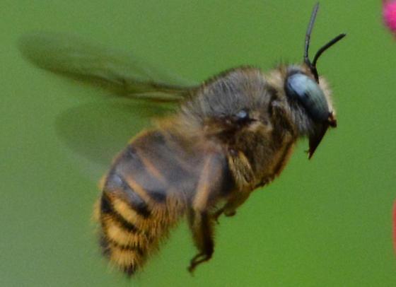 possible Eristalis stipator (stipator) or mallota posticata - Xylocopa tabaniformis - male