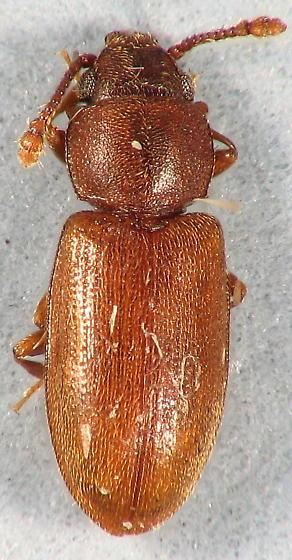 Silvanidae  - Ahasverus advena