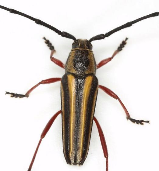 Sphaenothecus bivittata Dupont - Sphaenothecus bivittatus
