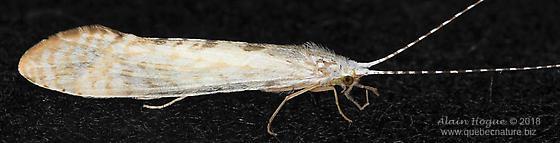 Nectopsyche diarina - male
