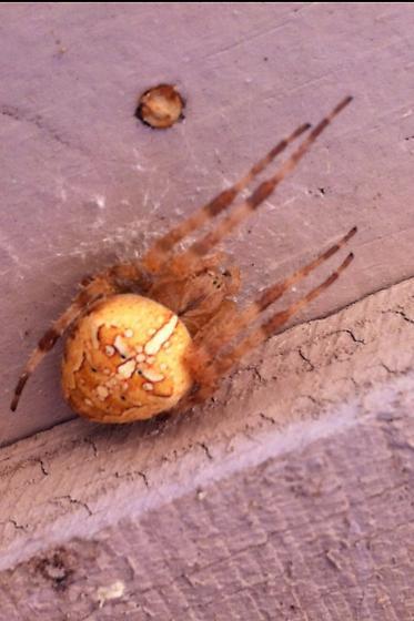 Spider on my Pump House - Araneus diadematus