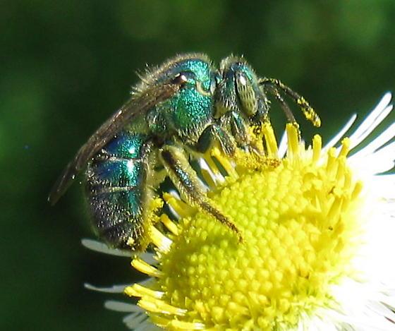 Halictid in garden - Augochloropsis metallica