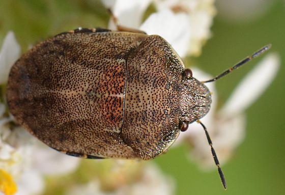 another Eurygaster? - Homaemus aeneifrons