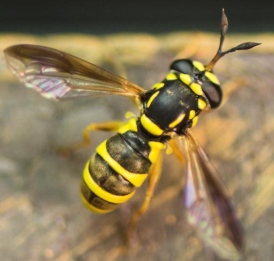 Not a yellow jacket? - Ceriana tridens - female