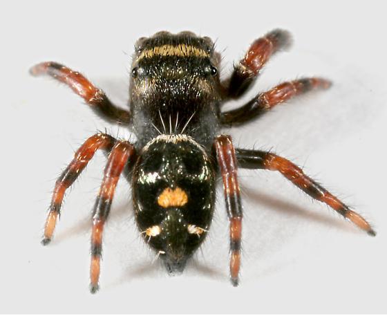 Spider BG504 - Phidippus regius