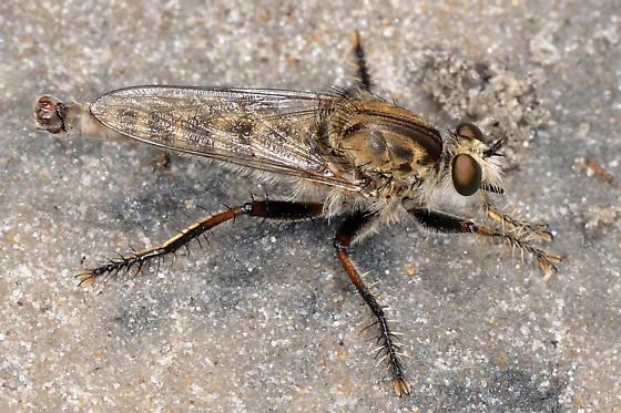 Unknown Robberfly - Proctacanthella robusta - male